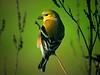 American Goldfinch, 2006, Brazos Bend S.P. Texas