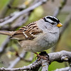 White-crowned Sparrow-4214