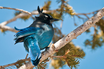 Steller's Jay Rocky Mountain National Park Colorado © 2011