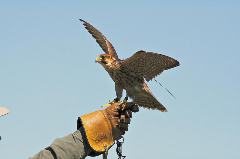 Small but formidable South African Barbary Falcon.