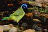 ZZz_MG_0189 SMALL FILE, Green Jay, LAGUNA ATASCOSA NWR, 9-6-09 Visitor Ctr drip