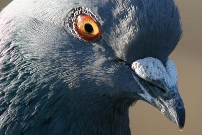 Pigeon, Palo Alto Baylands (Duck Pond)