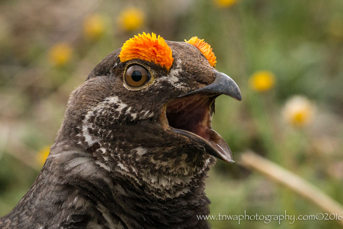 Grouse Call-Out