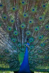 Peacock Crandon Gardens, Key Biscayne, Florida © 2009