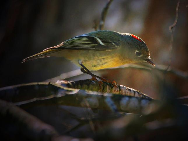 Kinglet, Ruby Crowned, 12-31-06, Brazos Bend S P , Texas