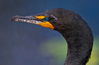 Double-Crested Cormorant Anhinga Trail, Everglades National Park Florida © 2013