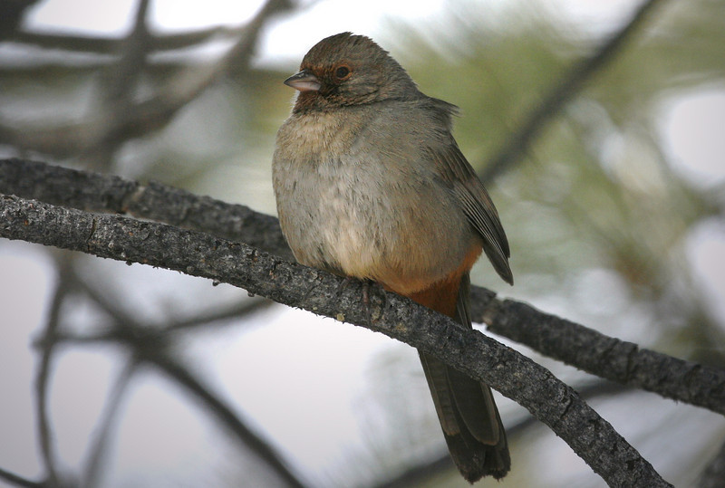 California Towhee. For this photo I was cold, and standing in 2 feet of snow on a high pass in Southern California. Less than a hour to the Southeast and down the mountain road, the weather was 75 degrees with the ground dusty and bone dry! You gotta love amazing California..
