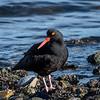 Black Oystercatcher-2969