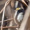 Golden-crowned Sparrow-3781