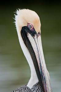 Brown Pelican Flamingo, Everglades National Park Florida © 2010