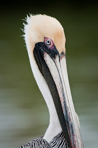 Brown Pelican Flamingo, Everglades National Park Florida © 2010