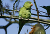 Chevron Parakeet, Silver Lake, Ca. Feb 2009. I had only a few minutes to search the street near my son's house for photo ops before heading to the airport and home to Houston. I was under this tree oblivious to this quiet bird above me. As I walked off he squawked, and I realized I had not seen anything in the area that could make that sound. It was like he wanted me to know he was there! He and 3 more Chevron Parakeets entertained me for as long as I could possibly stay.