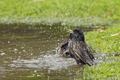 Starlings taking a bath  400mm f5.6L
