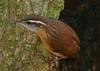 Carolina Wren, Brazos Bend State Park, 11-12-07