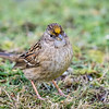 Golden-crowned Sparrow-3185