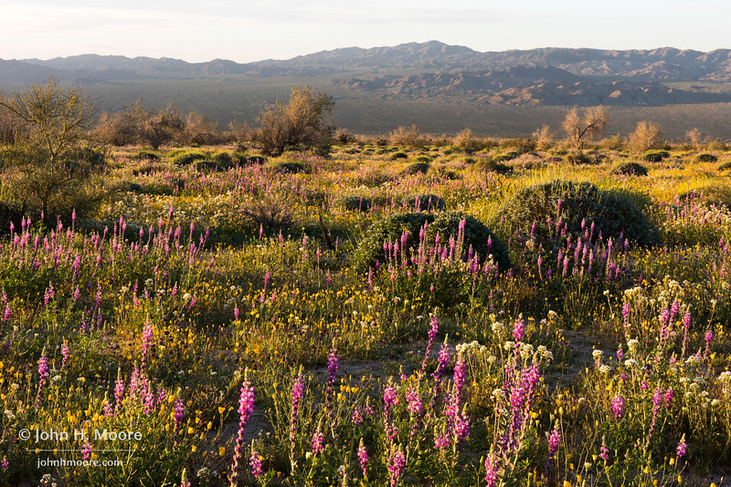 Sunrise light across a field of lupine and other wildflowers in southern Joshua Tree National Park.