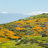 California poppies and other wildflowers cover a hill in Southern California, with snow-covered mountain in the background.