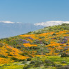 Snow-capped mountains loom behind fields of California poppies, Arroyo lupine, and California goldfields.  Diamond Valley Lake, Southern California.