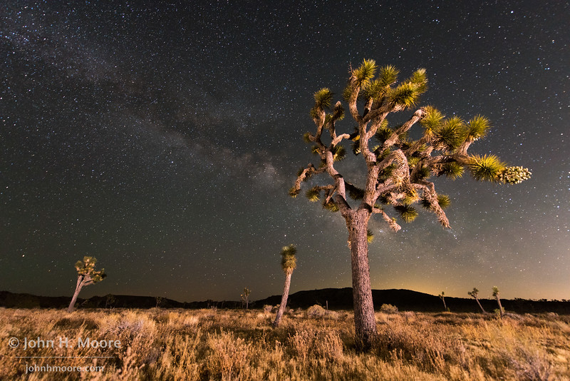 Joshua Trees at night.  Joshua Tree National Park, California, USA.