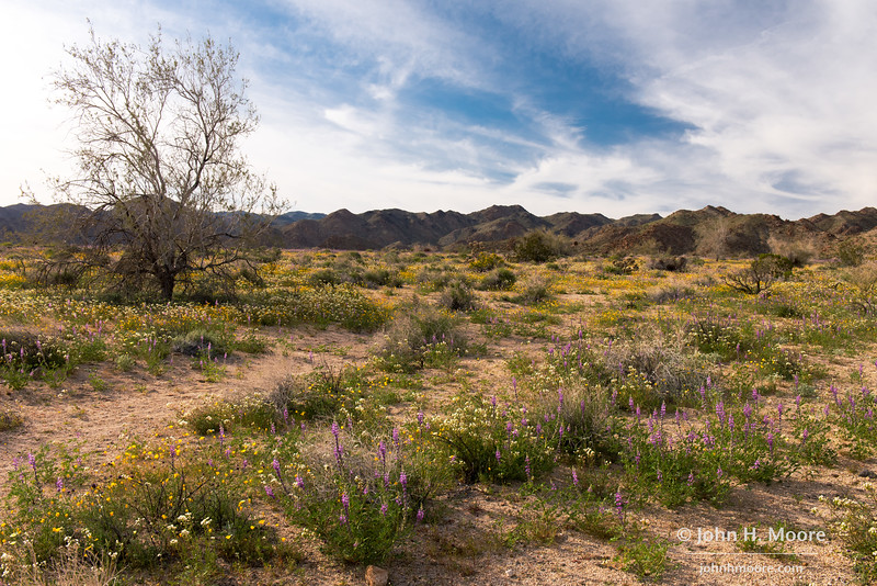 Wildflower field on the south slope of Joshua Tree National Park