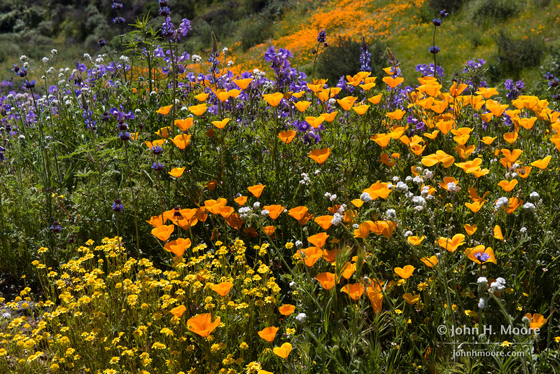 Mixed California poppies, Arroyo lupine, California goldfields, chia, baby blue eyes, and a white flower.  Diamond Valley Lake, California.