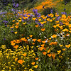 Mixed California poppies, Arroyo lupine, California goldfields, chia, baby blue eyes, and a white flower.  Diamond Valley Lake, California.
