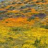 Fields of California poppies, Arroyo lupine, and California goldfields at Diamond Valley Lake, California.
