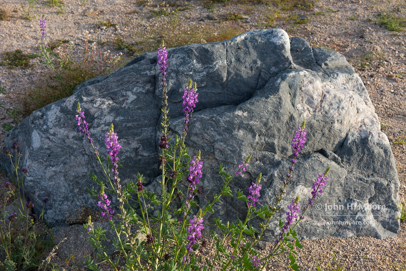 Lupine in front of a boulder.  Joshua Tree National Park.