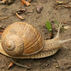 Large Ground Snail<br /> Paty, Hungary<br /> May 2006