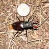 Szarvas Bogar (Stag Beetle), Buda hills, June 2005