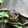 Box turtle near lake behind the house.<br /> Gladstone, MO<br /> Summer 2007