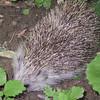 Hedgehog just outside restaurant on Gellert Hill. Budapest, Hungary.