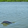Bottlenose Dolphin in low country creek