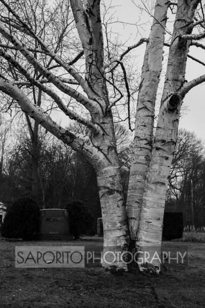 Bare Birch
