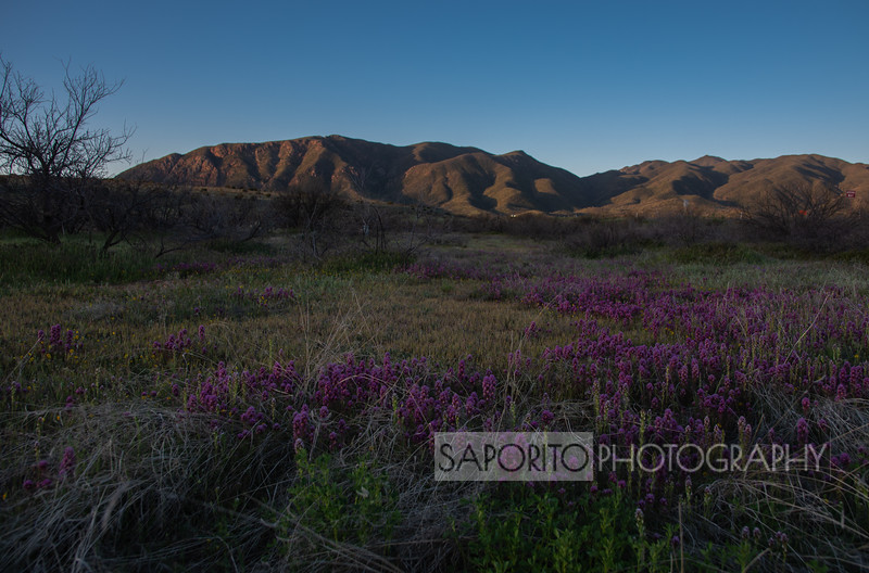 Purple Flowers at Dawn