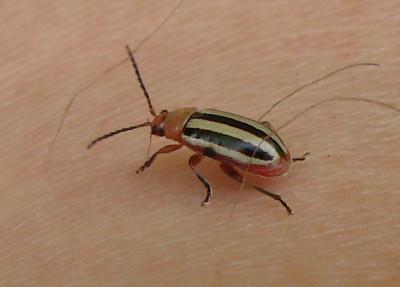 Disonycha beetle. TX: Tarrant Co. (Duhons' Fort Worth yard), 19 September 2009.