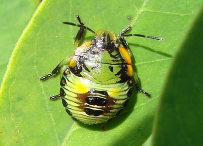 Acrosternum hilare (Green Stink Bug) nymph.  TX: Tarrant Co. (Duhons' Fort Worth yard), 19 September 2009.