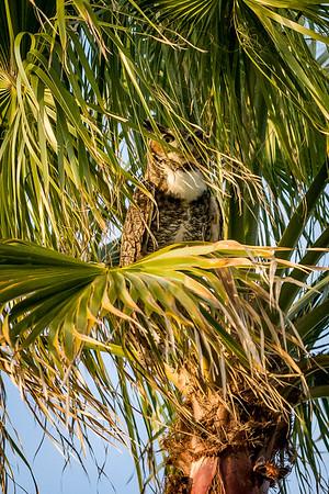 Owl outside of FGCU