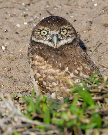 Borrowing Owls