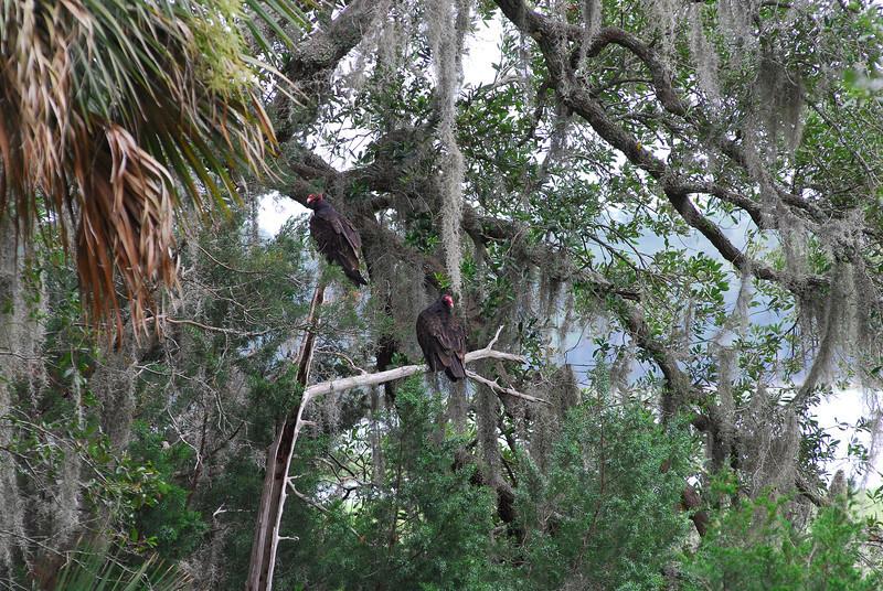 Turkey Vultures at RR 06-24-11