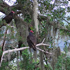 Turkey Vultures at RR 06-24-11