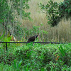 Turkey Vultures at RR 06-23-11
