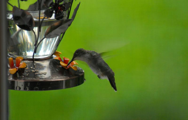 Hummingbird at feeder at River Ridge through Screen and Window