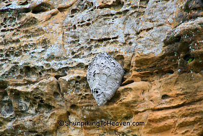 Hornet's Nest Camouflaged on Rock Wall, Richland County, Wisconsin