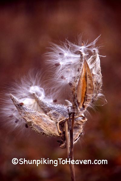 Autumn Milkweed, Leopold Memorial Reserve, Sauk County, Wisconsin