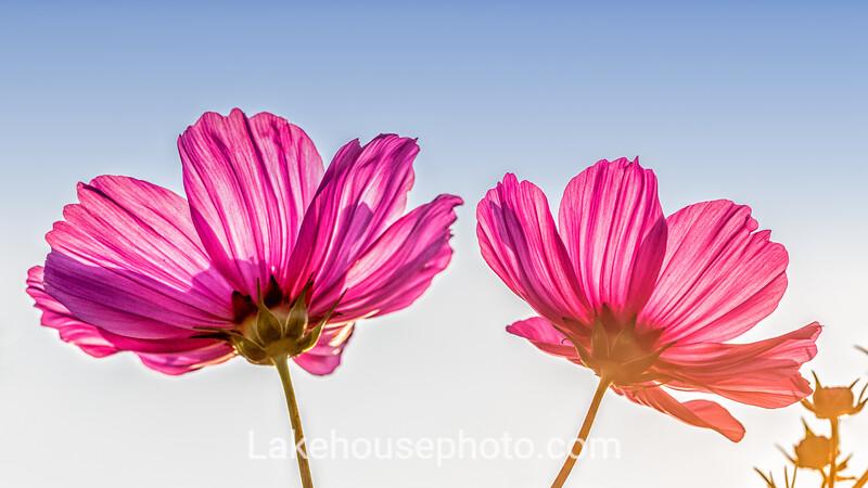 Blue Sky Flower