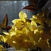 daffodils 032