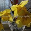 daffodils 002