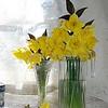 daffodils 067