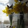 daffodils 078